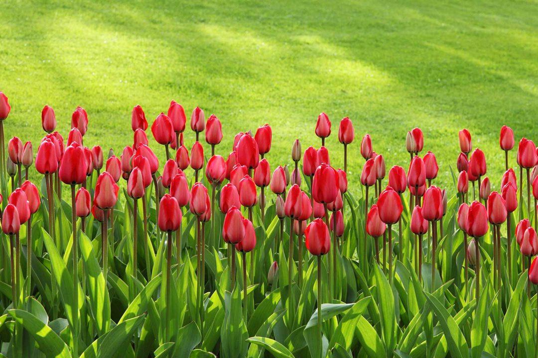 tulips-1080x720